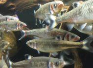 アクアポニックス養殖魚の種類【完全版】メダカからチョウザメまで