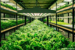 アクアポニックス農場で育つ野菜