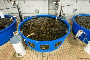 アクアポニックスの魚タンク