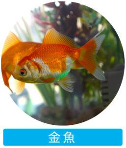 金魚 アクアポニックスで育つ魚
