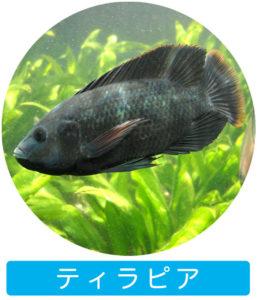 ティラピア|アクアポニックスで育つ魚
